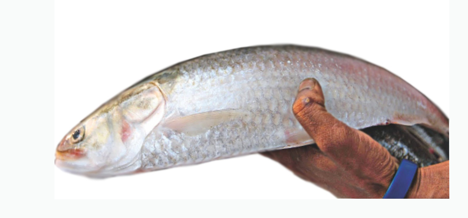 Ilish hilsa fish buy ilish hilsa fish online for Fish to buy